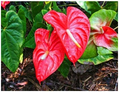 Anthurium in Indonesia